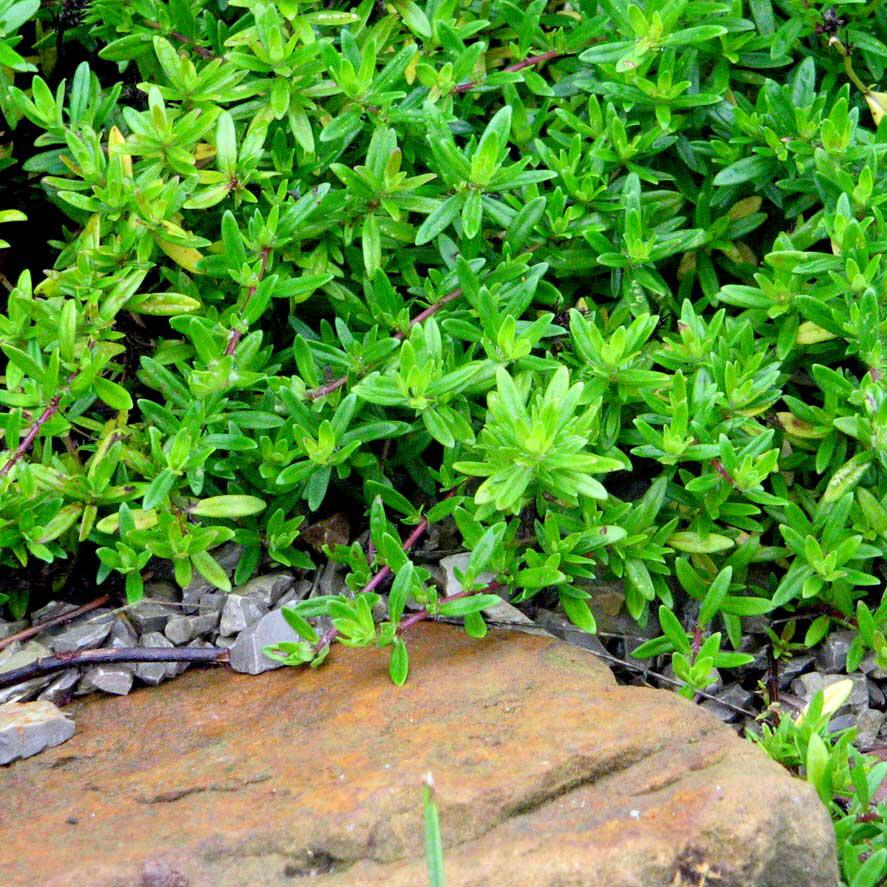 thymian aromatischer kaskadenthymian duftpflanzen