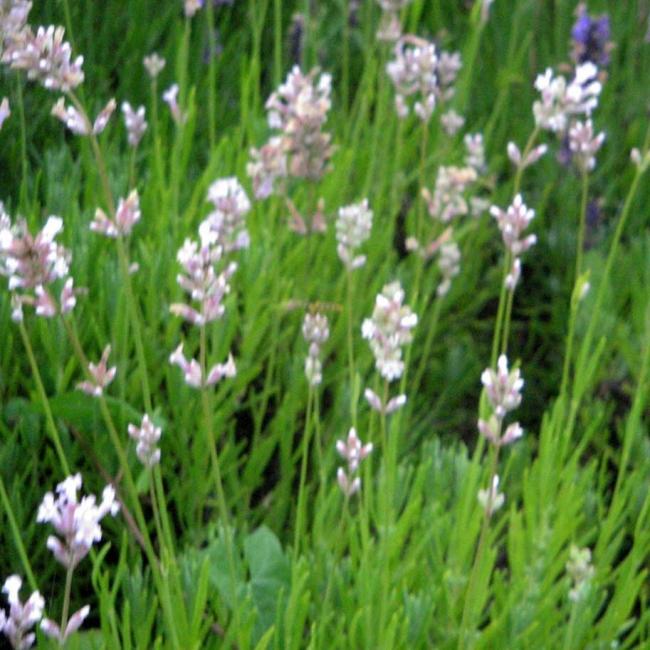 Lavendel, rosablühend