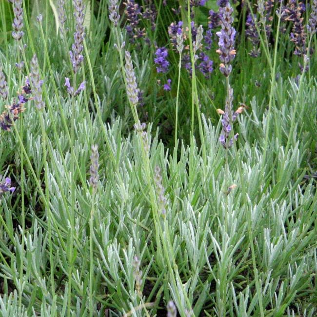 Lavendelpaket