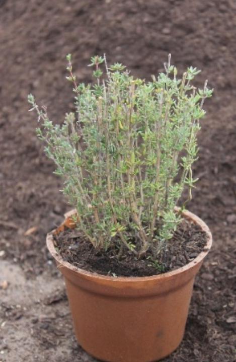 Thymian Pflanze der Gärtnerei Lichtenborner Kräuter