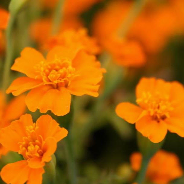 Tagetes, Gewürztagetes Orange