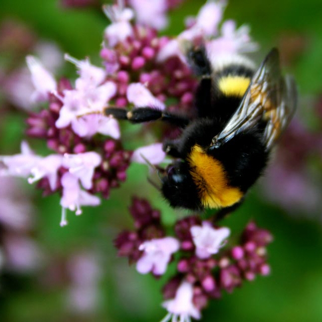 Bienen- und Hummelweide