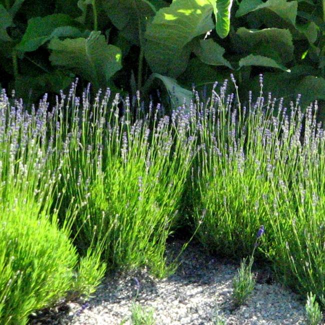 """Lavendel """"Hidcote Blue"""""""