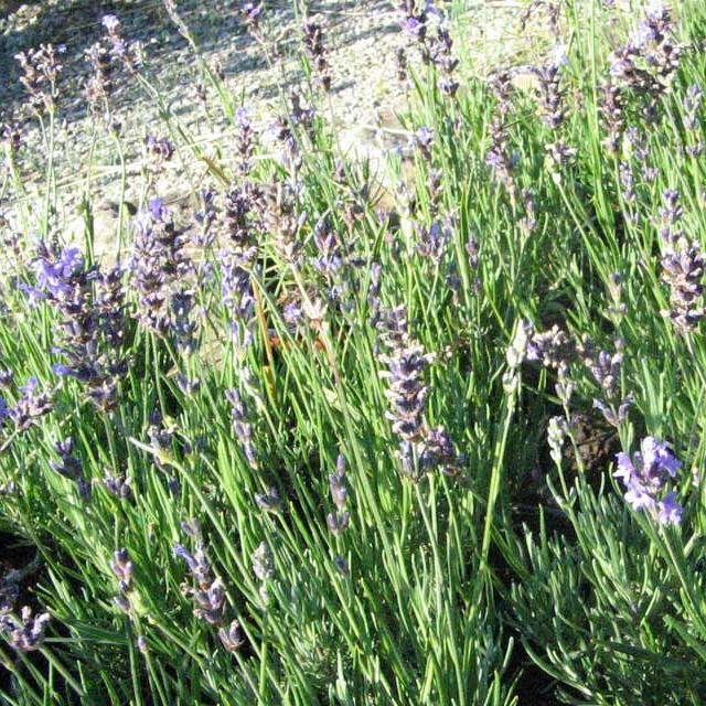 """Lavendel """"Dwarf Blue"""""""