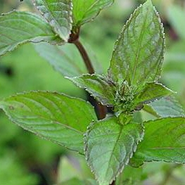 Minzen, Black Spearmint